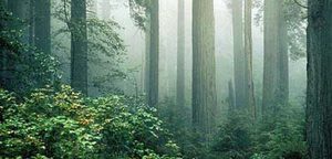 Redw_trees2